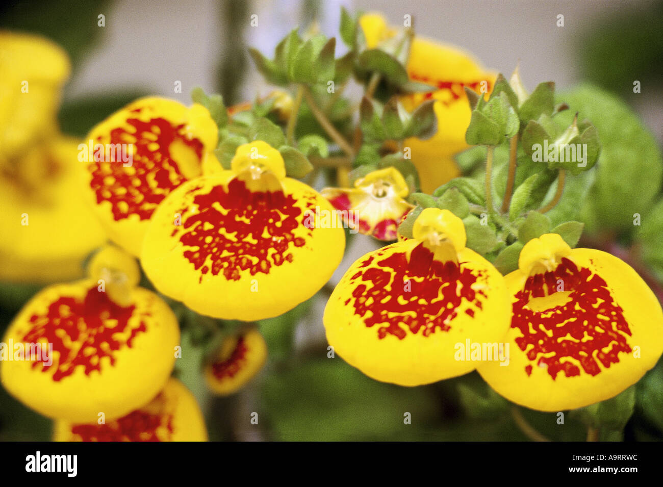 Orchid flowers india stock photos orchid flowers india stock unusual shape yellow color with red colour center five flowers round circular sphere spherical india asia dhlflorist Image collections