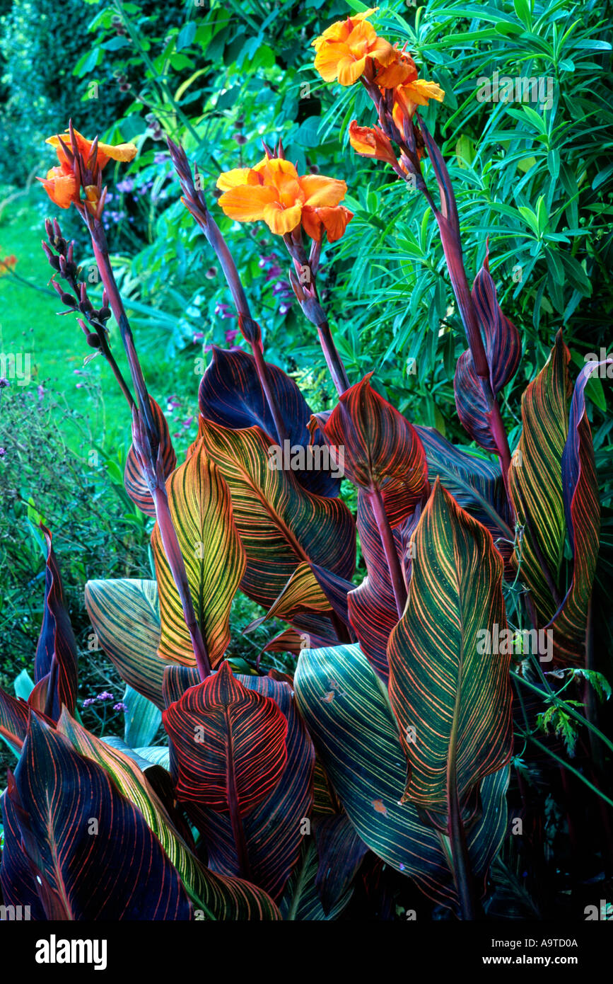 Good Canna Durban, Exotic Plant Plants Garden Gardens Flower Flowers Rhizome  Orange Cannas
