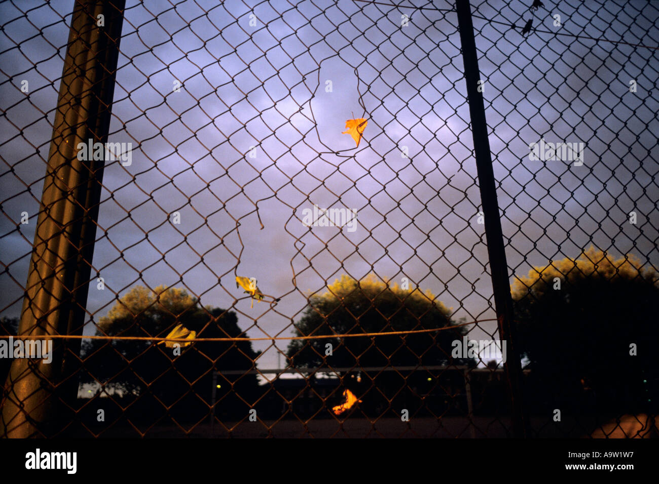 Dried leaves caught in a wire fence and the golden light of an ...