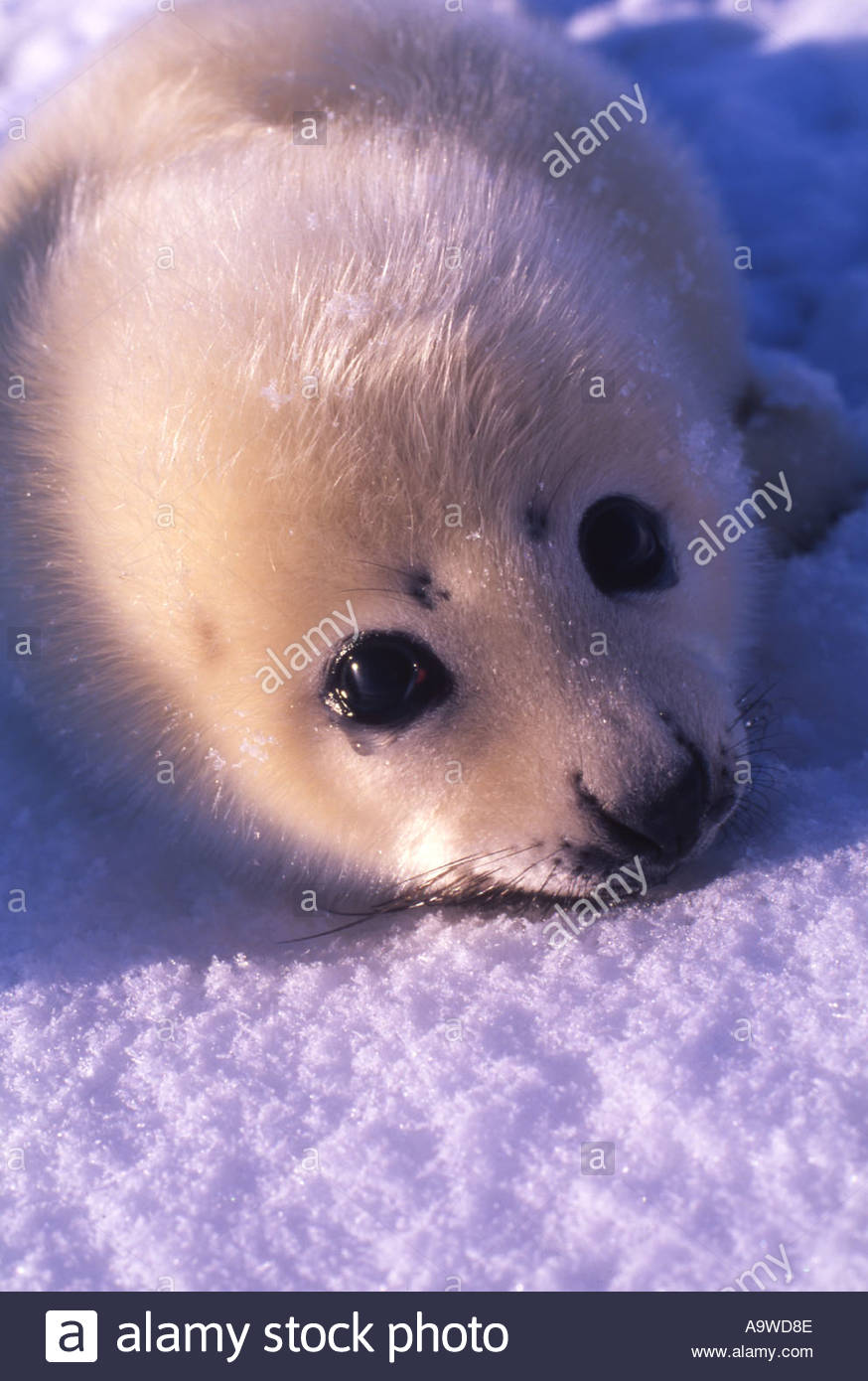 Harp Seal Pictures   Beautiful Photos