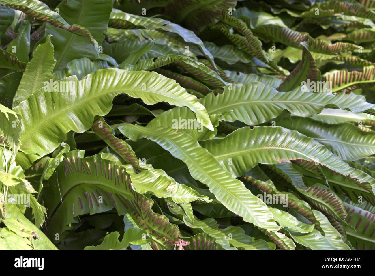 harts tongue European hartstongue fern Asplenium scolopendrium