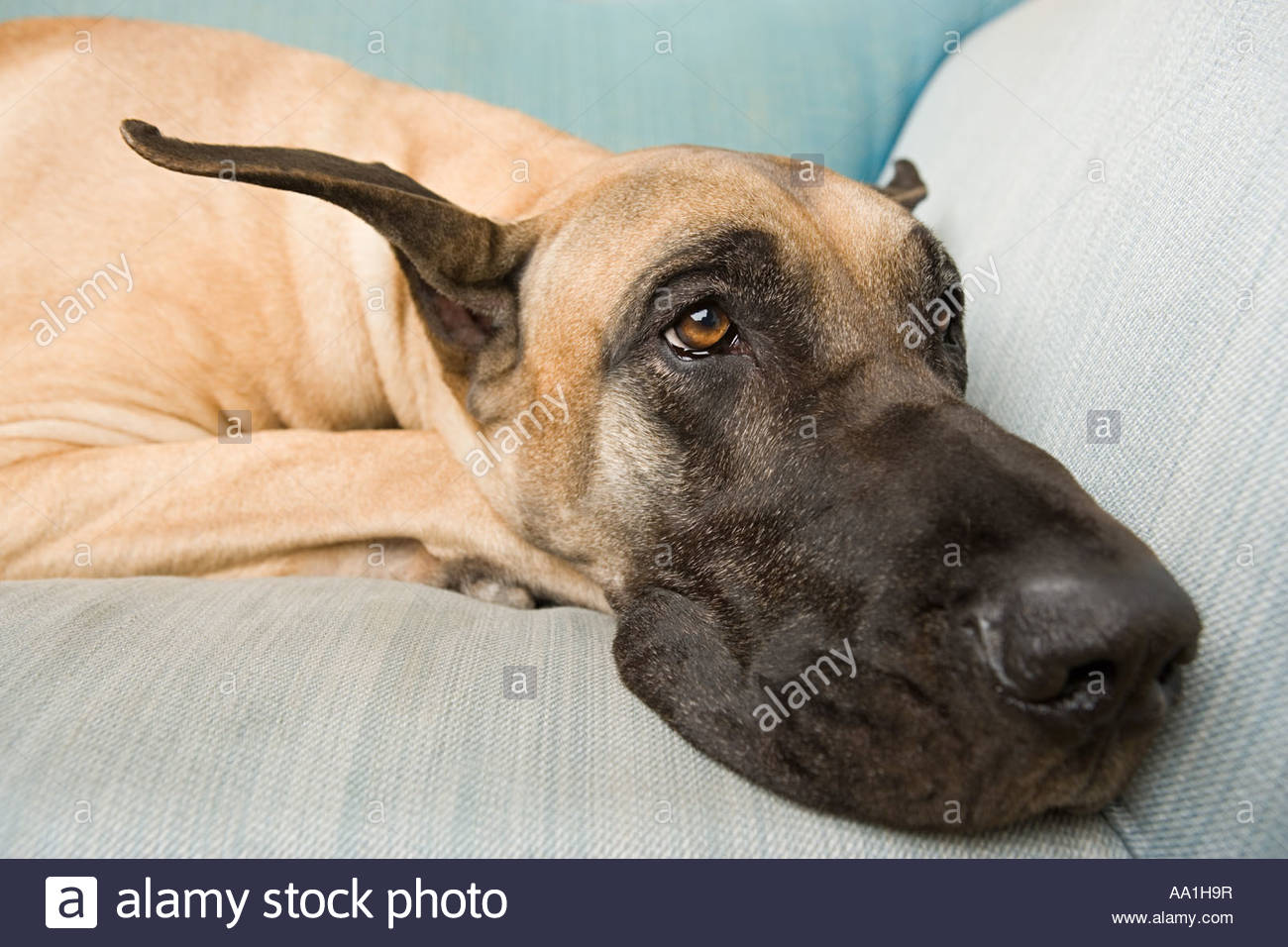 A Great Dane Stock Photos & A Great Dane Stock Images - Alamy