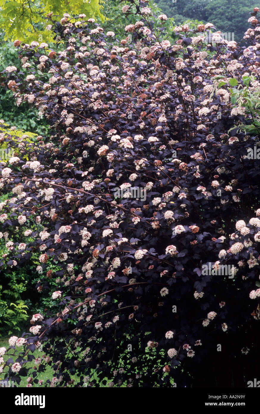 physocarpus opulifolius 39 diabolo 39 whole shrub ninebark dark bronze stock photo 12494726 alamy. Black Bedroom Furniture Sets. Home Design Ideas