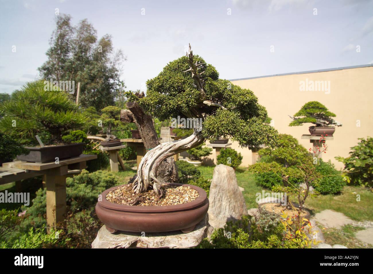 Pine bonsai trees in garden kent stock photo royalty free for Garden trees kent