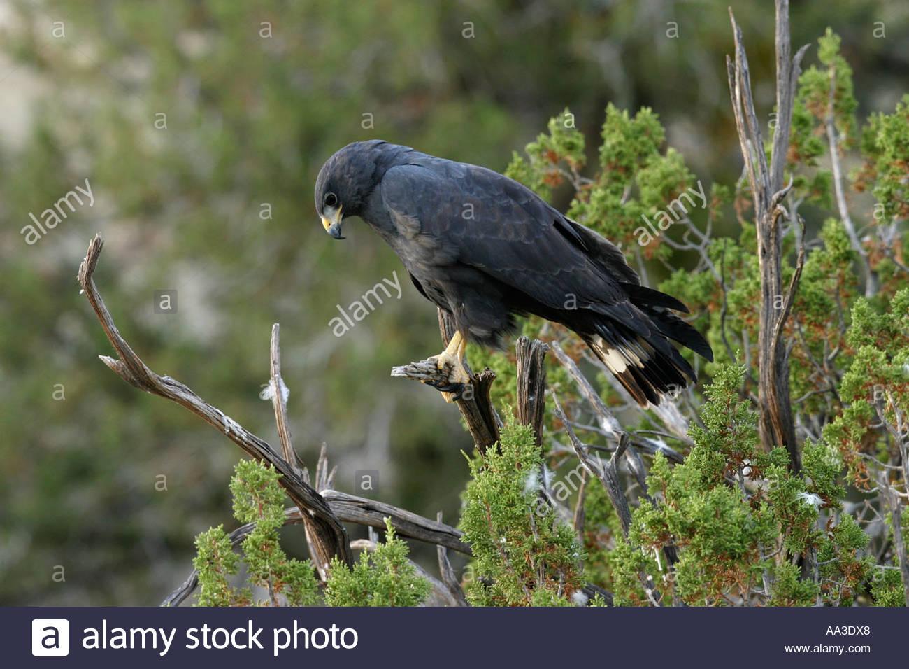 zone-tailed-hawk-perched-on-tree-buteo-albonotatus-AA3DX8.jpg