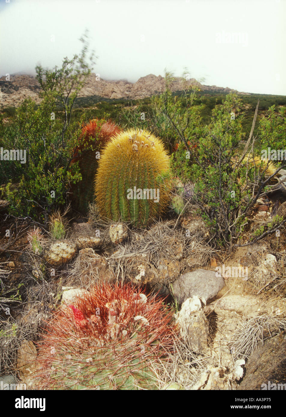 Denmoza rodacantha cacti in mendoza puna in western for Cactus argentina