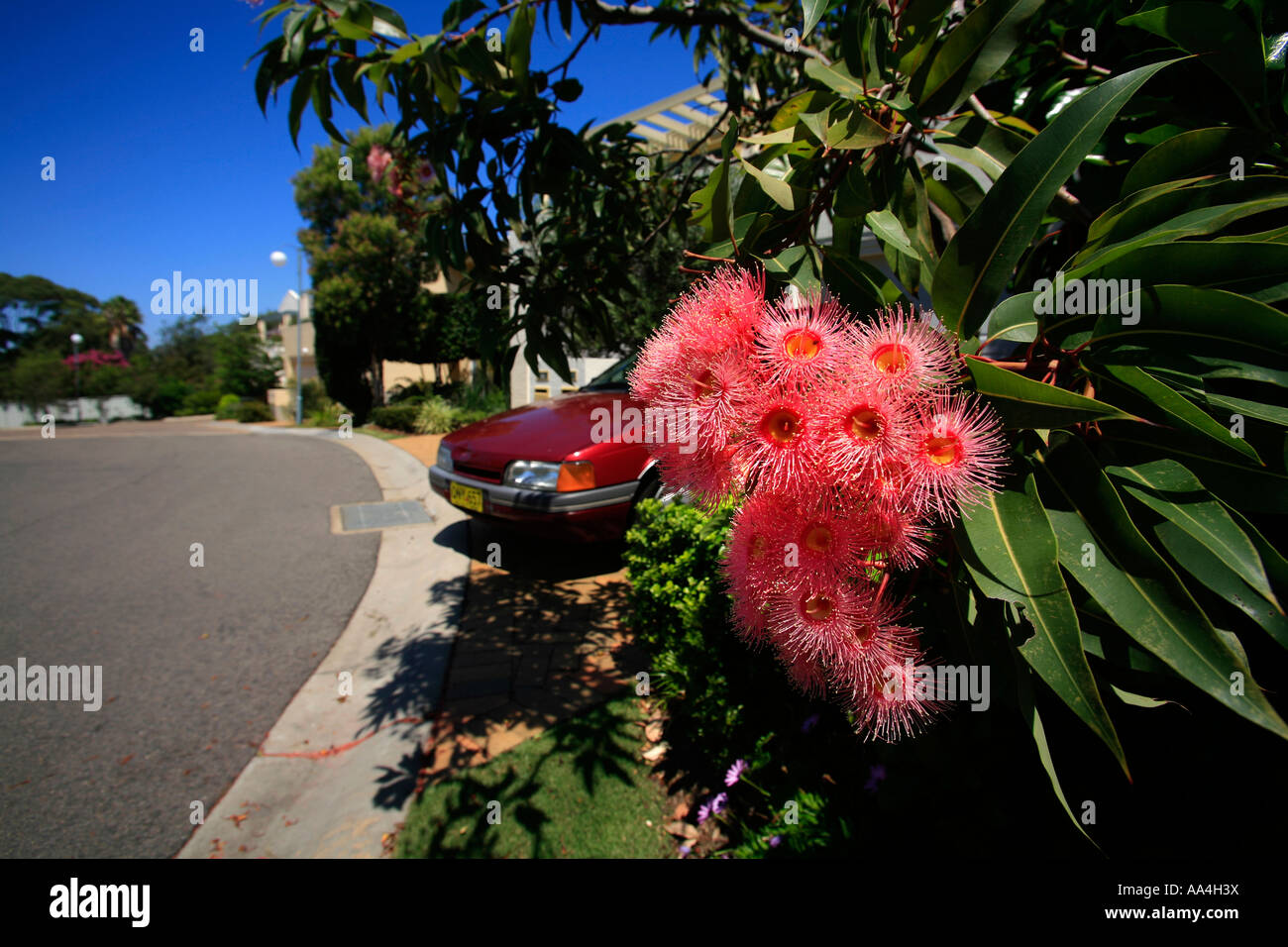 A pink flowering gum on the roadside in a sydney suburb australia a pink flowering gum on the roadside in a sydney suburb australia mightylinksfo