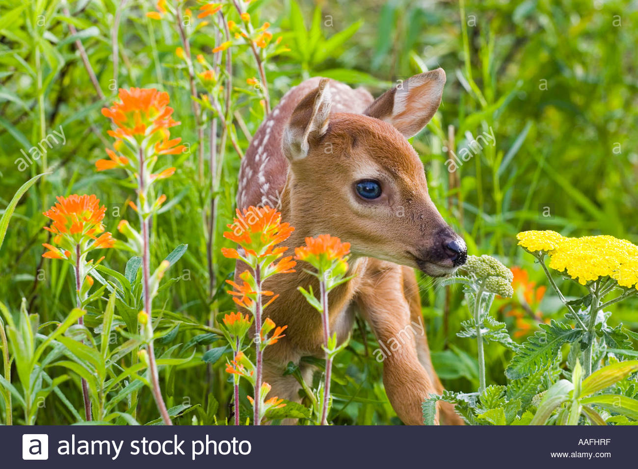 Closeup of baby white tailed deer standing in wildflowers ... - photo#23