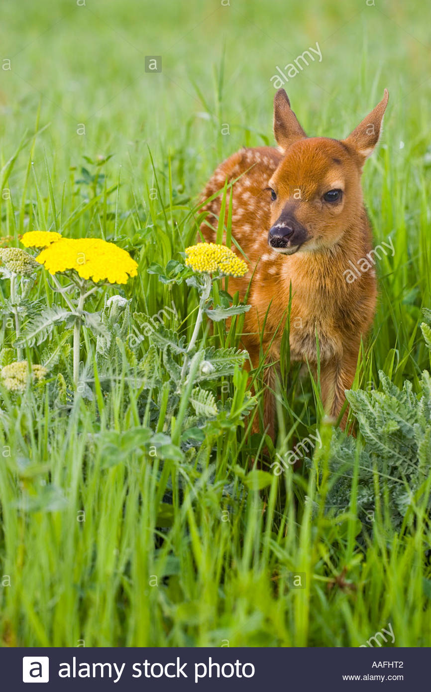 Closeup of baby white tailed deer standing in wildflowers ... - photo#45