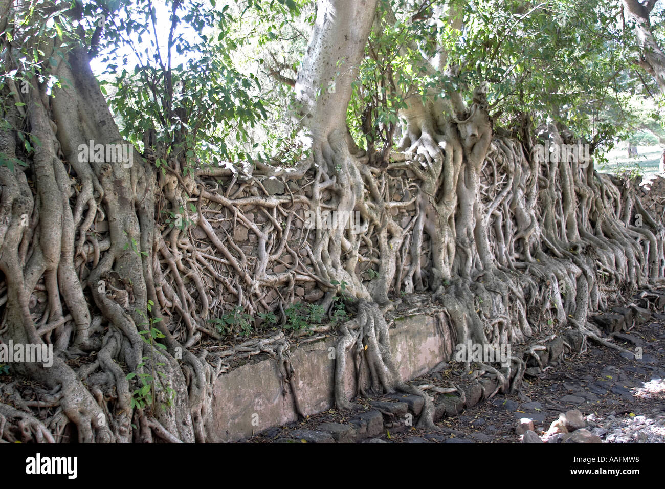 Fig Tree Roots Climbing Over Wall Of Fasalidas Bath In Gonder 17 ...