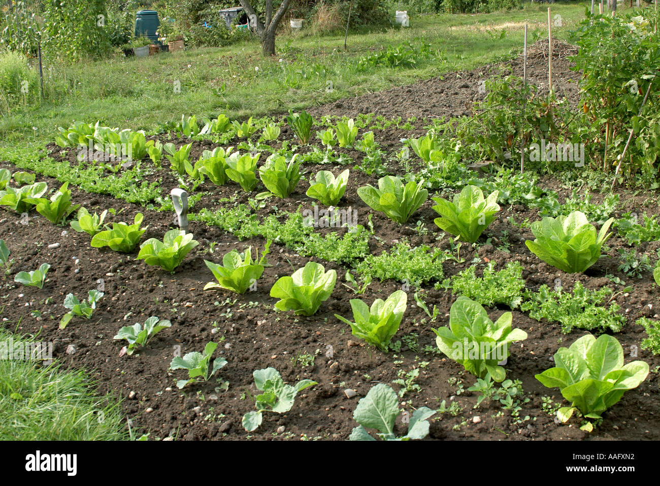 Allotment Gardens With Organic Home Grown Lettuce And