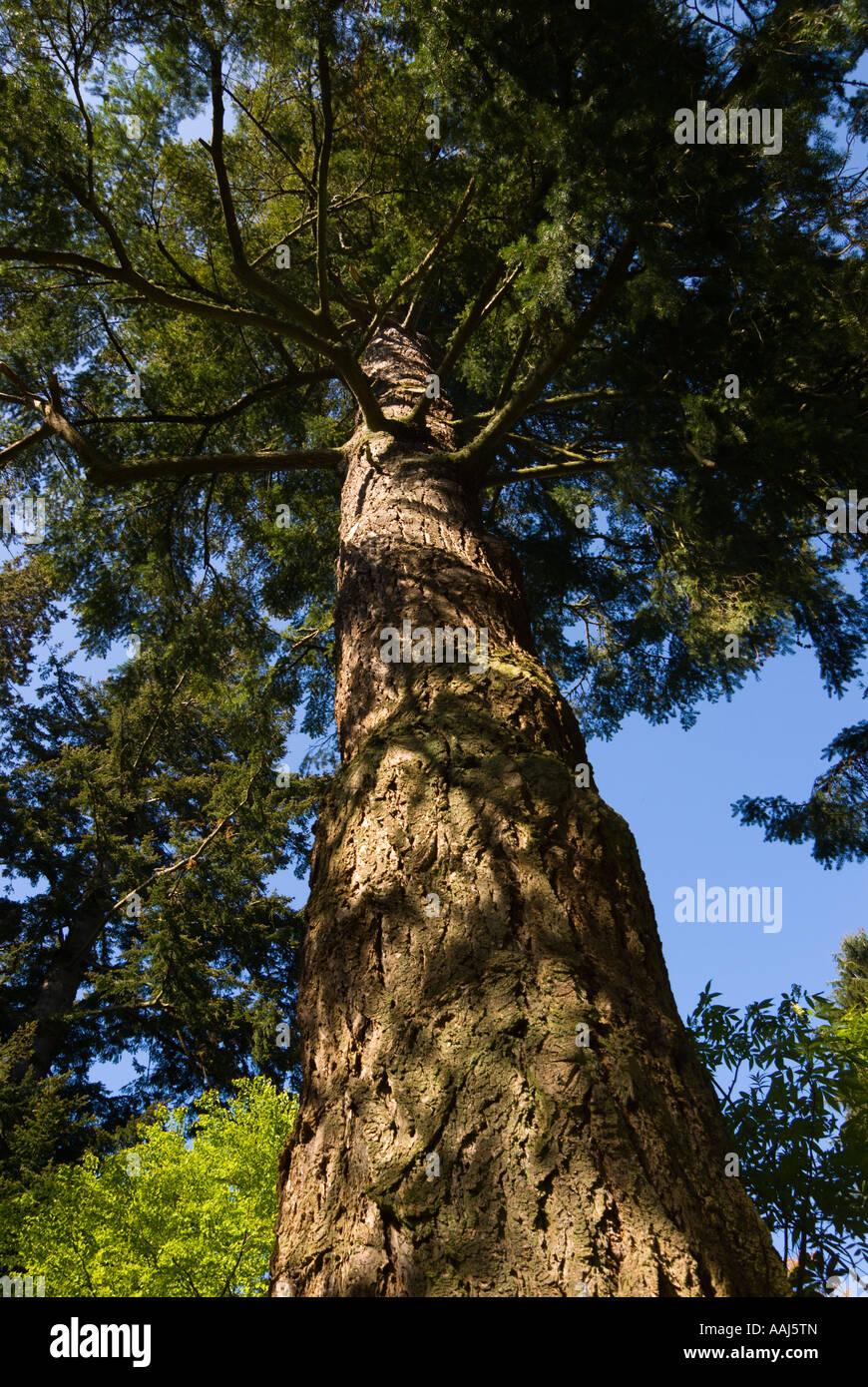 Douglas Fir Tree Pseuodtsuga Menziesii At Dawyck Botanical
