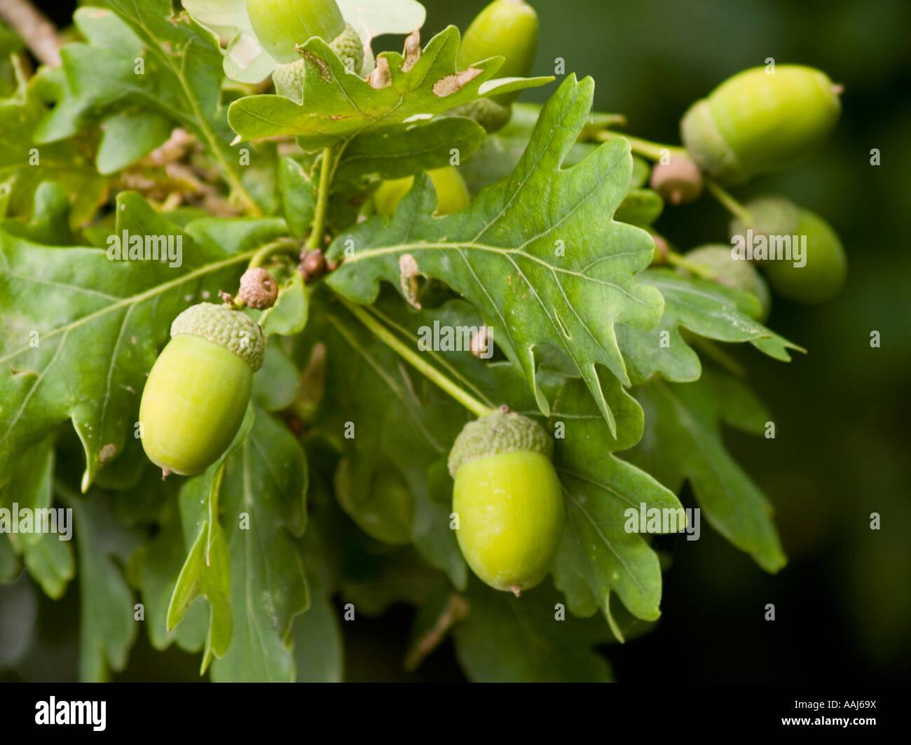 Planting Live Oak Tree Acorns : Freshly growing acorns of the english oak tree quercus