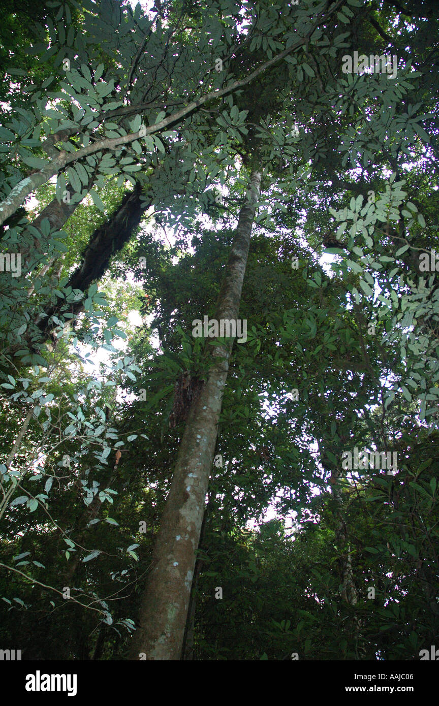 Rainforest canopy wet tropics far north Queensland Australia dsc0065 & Rainforest canopy wet tropics far north Queensland Australia ...