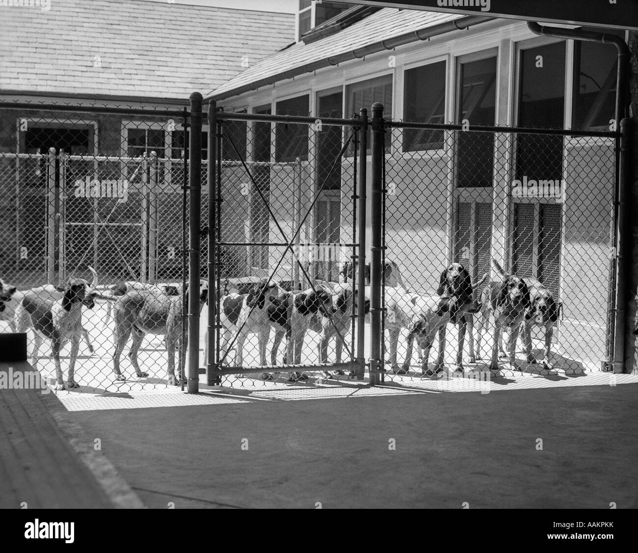 1930s kennel yard full fox hound foxhounds dogs wire fence for Building dog kennels for breeding