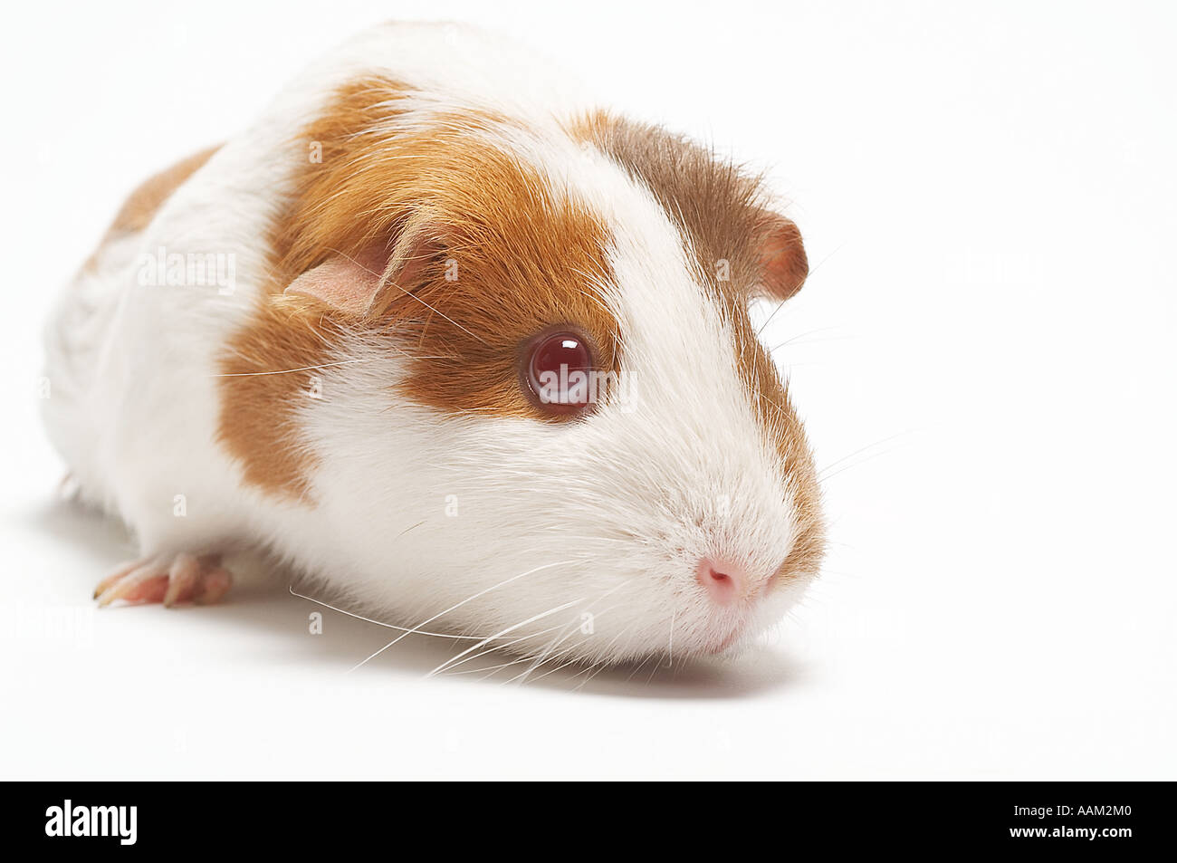 Guinea pigs pig pet cute cuddle furry animal test for Guinea pig pictures free