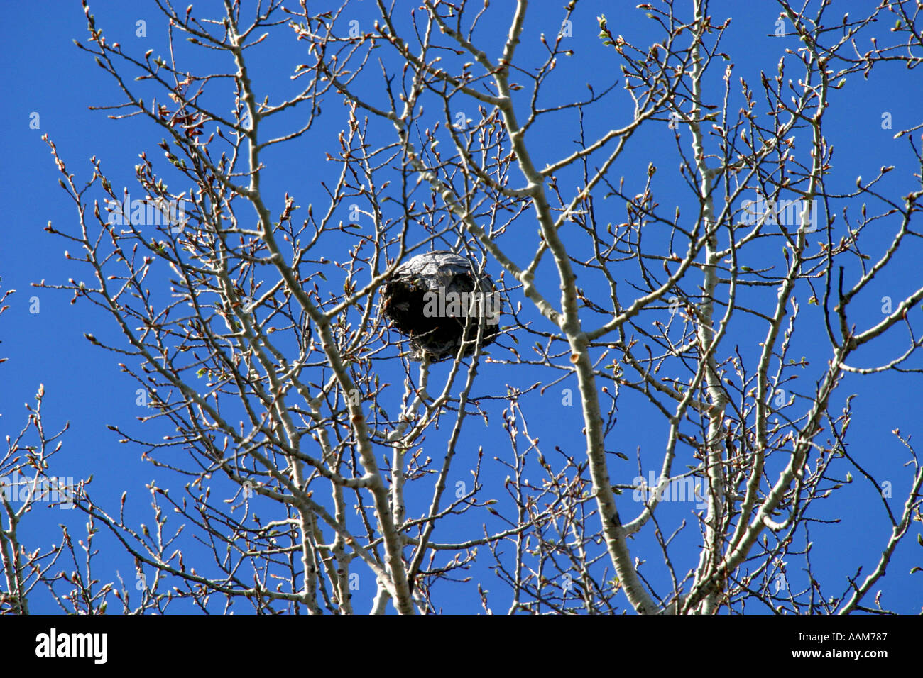 Horizontal Wasp Nest High In A Tree Stock Photo, Royalty Free ...