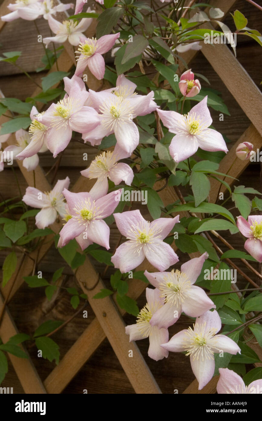 White flower farm clematis image collections flower decoration ideas white flower farm clematis choice image flower decoration ideas white flower farm clematis gallery flower decoration mightylinksfo