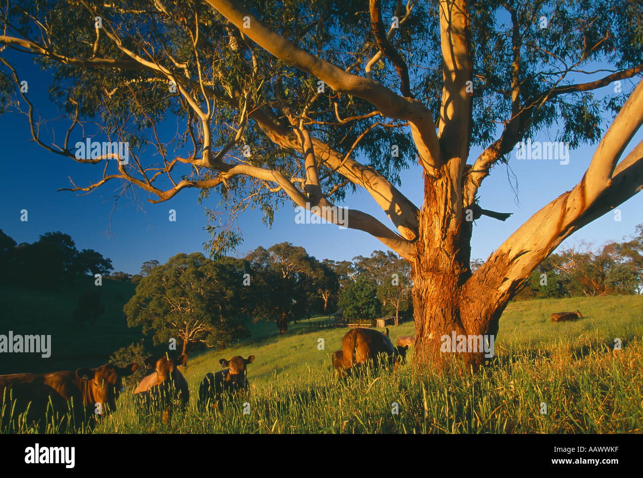 Pasture And Eucalyptus Tree Adelaide Hills South Australia
