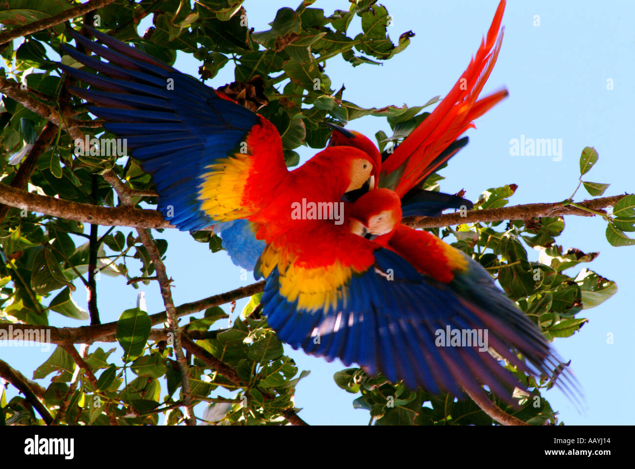 Scarlet Macaw mating pair, Corcovado National Park, Costa ...
