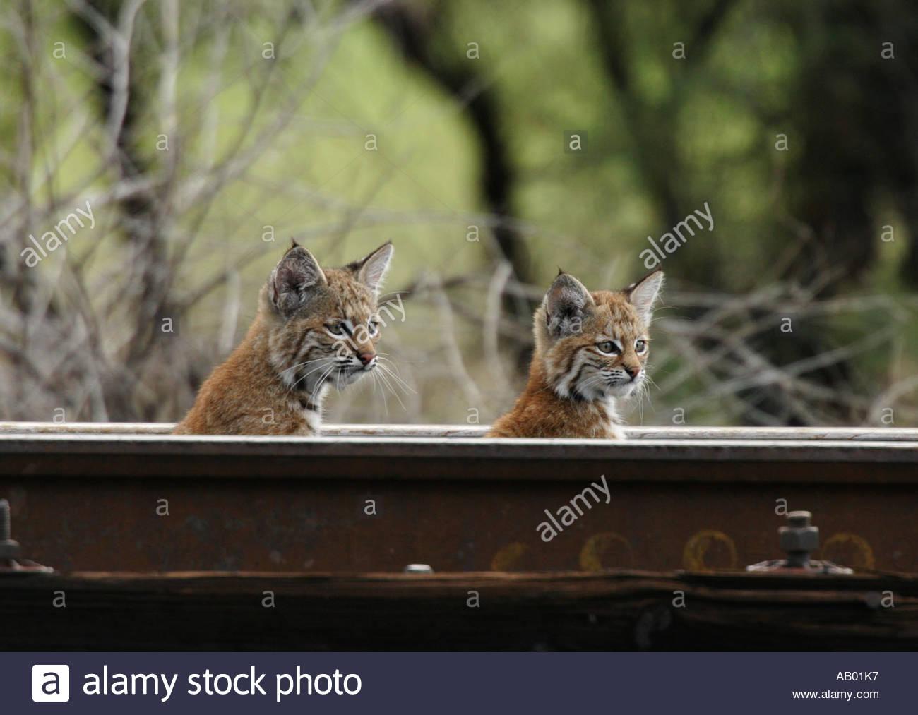 bobcat-kittens-peering-over-railroad-rail-lynx-rufus-AB01K7.jpg