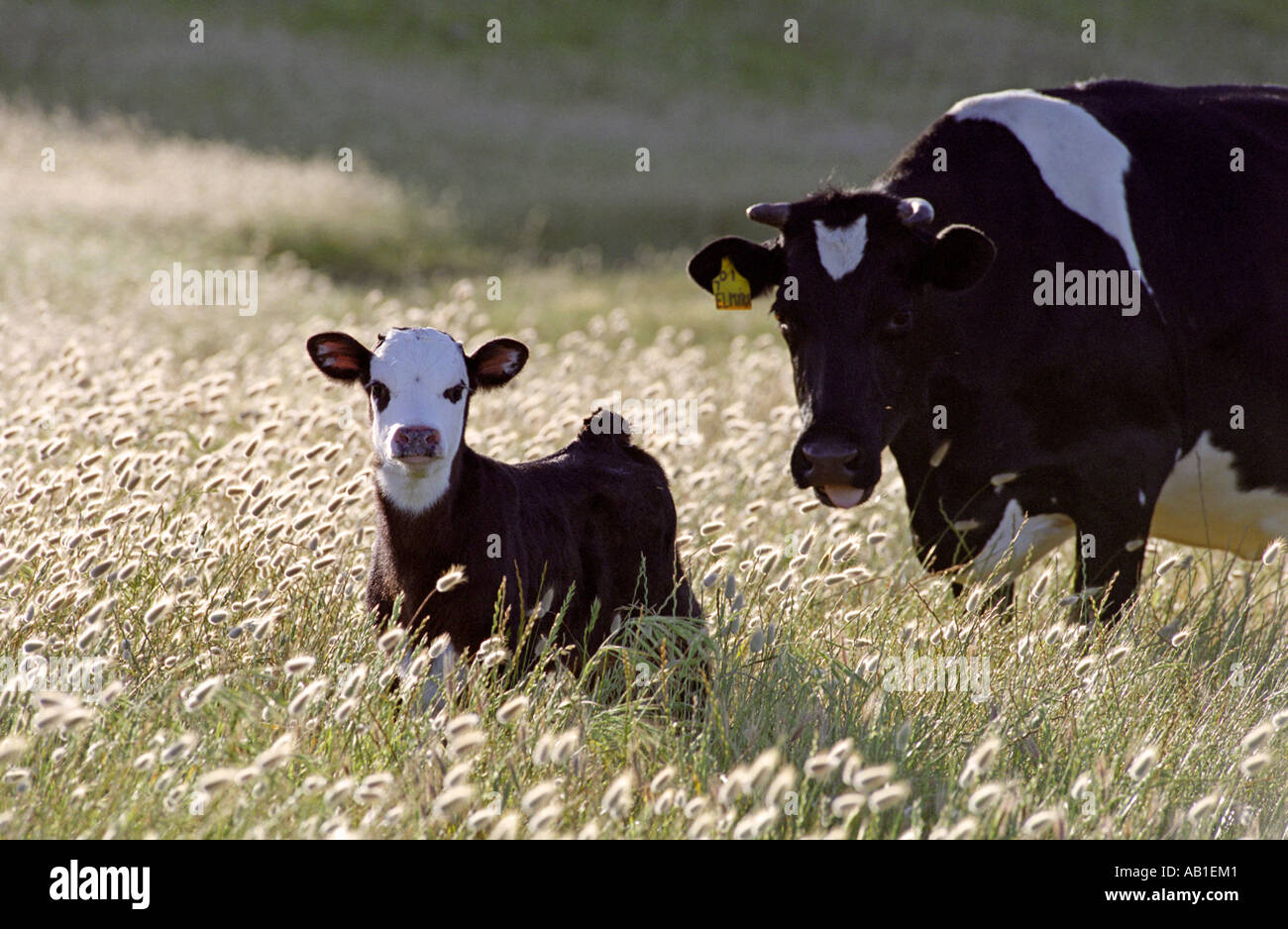 Holstein calf with mother
