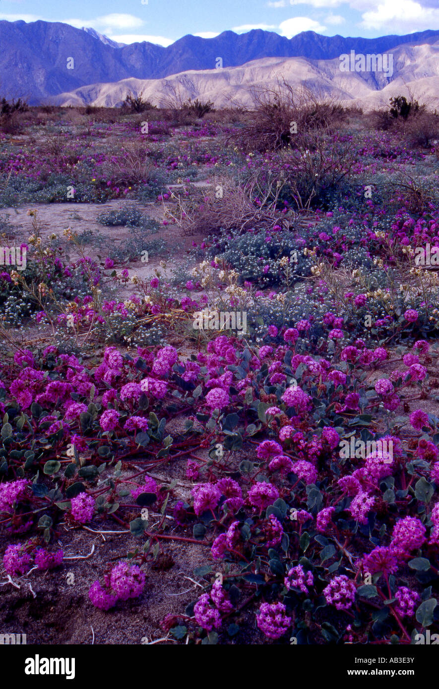 Equinox San Diego >> Sand Verbena In Coyote Canyon Anza Borrego Desert State Park Borrego Stock Photo, Royalty Free ...