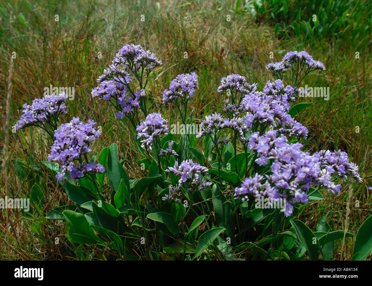 Image Gallery limonium latifolium
