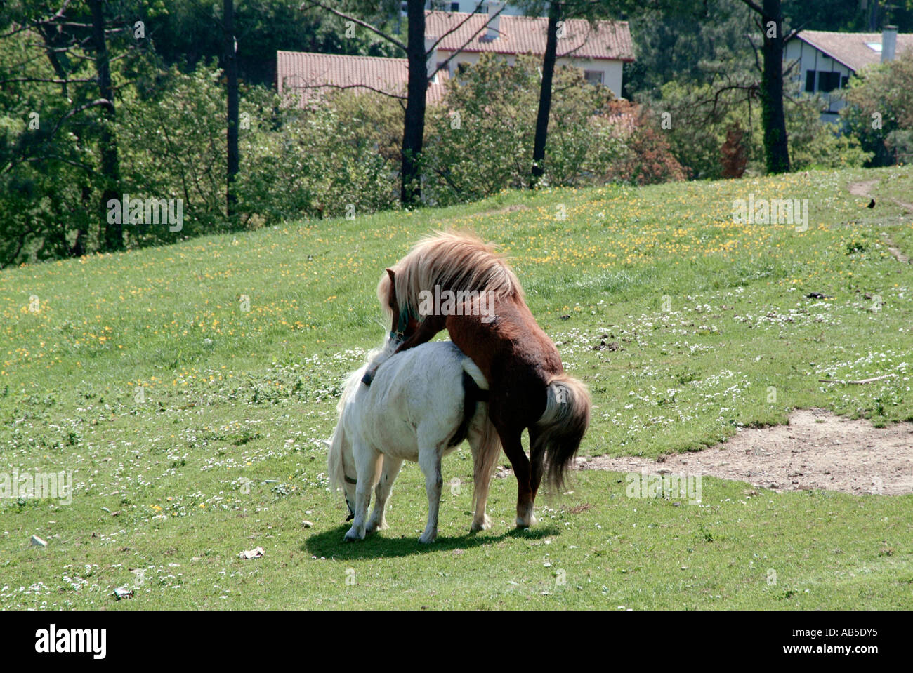 hors sex Horses, have, sex, shag, shagging, horse, mating, racing, stable, stud,