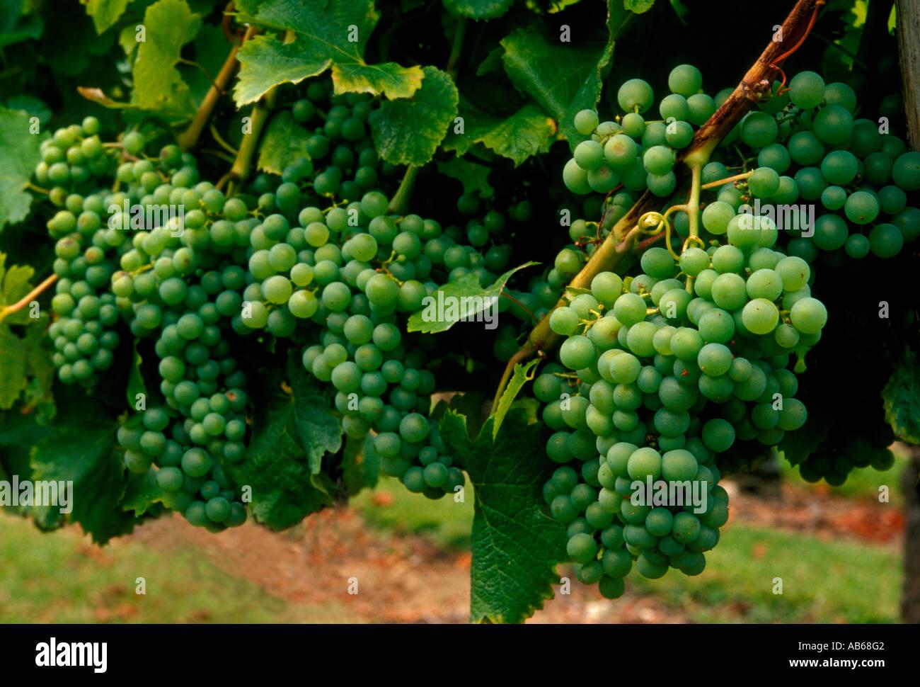 vineyard wine grapes on vine grapevine at chateau de monbazillac village of monbazillac dordogne france europe - Chateau De Monbazillac Mariage