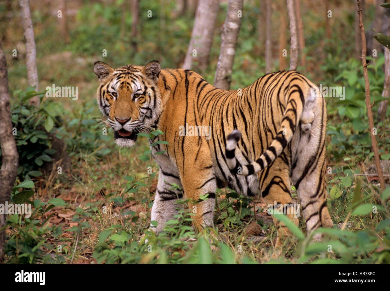 indo chinese tiger panthera tigris corbetti stock photo