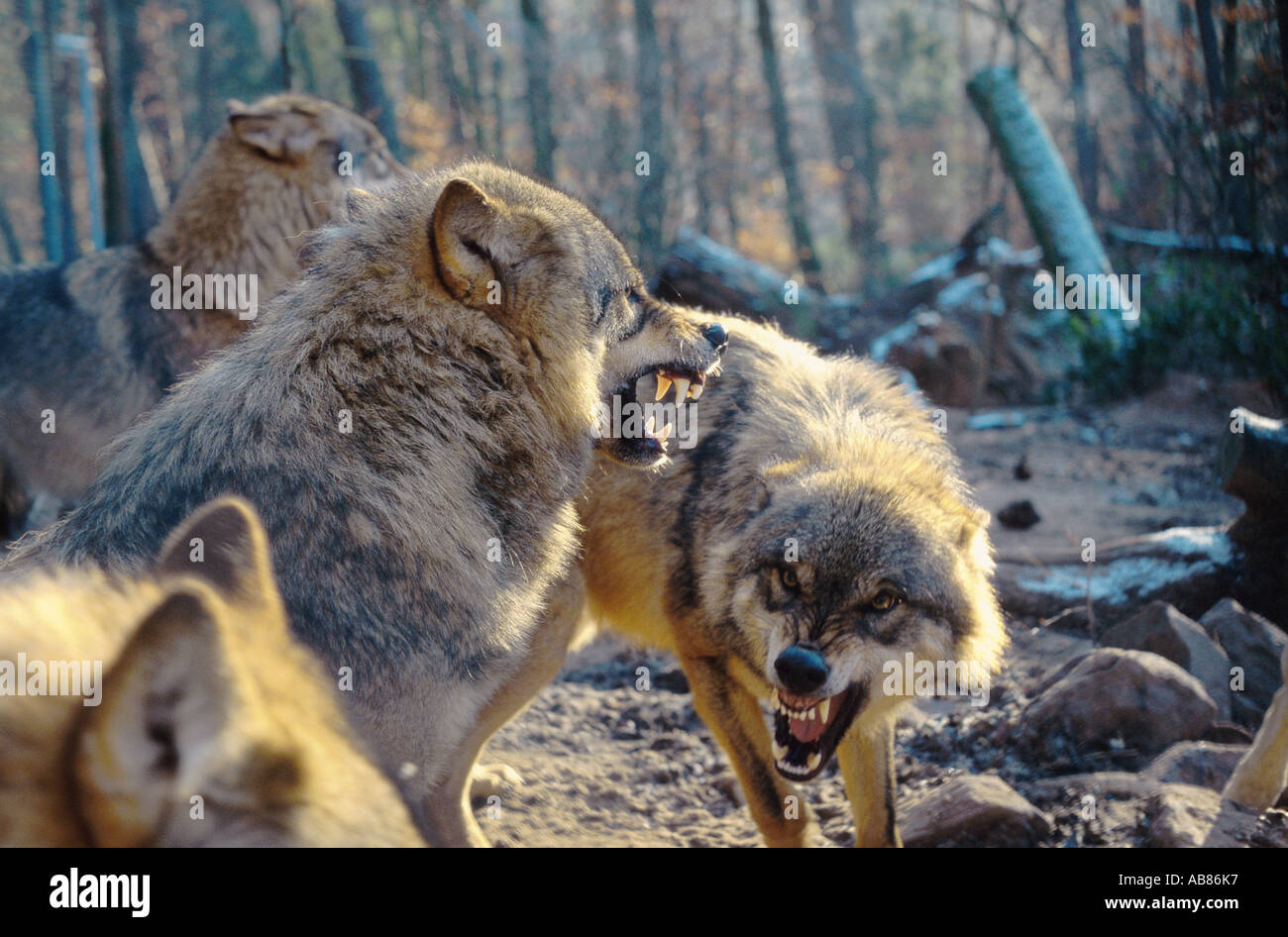 Eurpaischer Grauwolf (Canis lupus lupus) | Matthias Kahrs | Flickr
