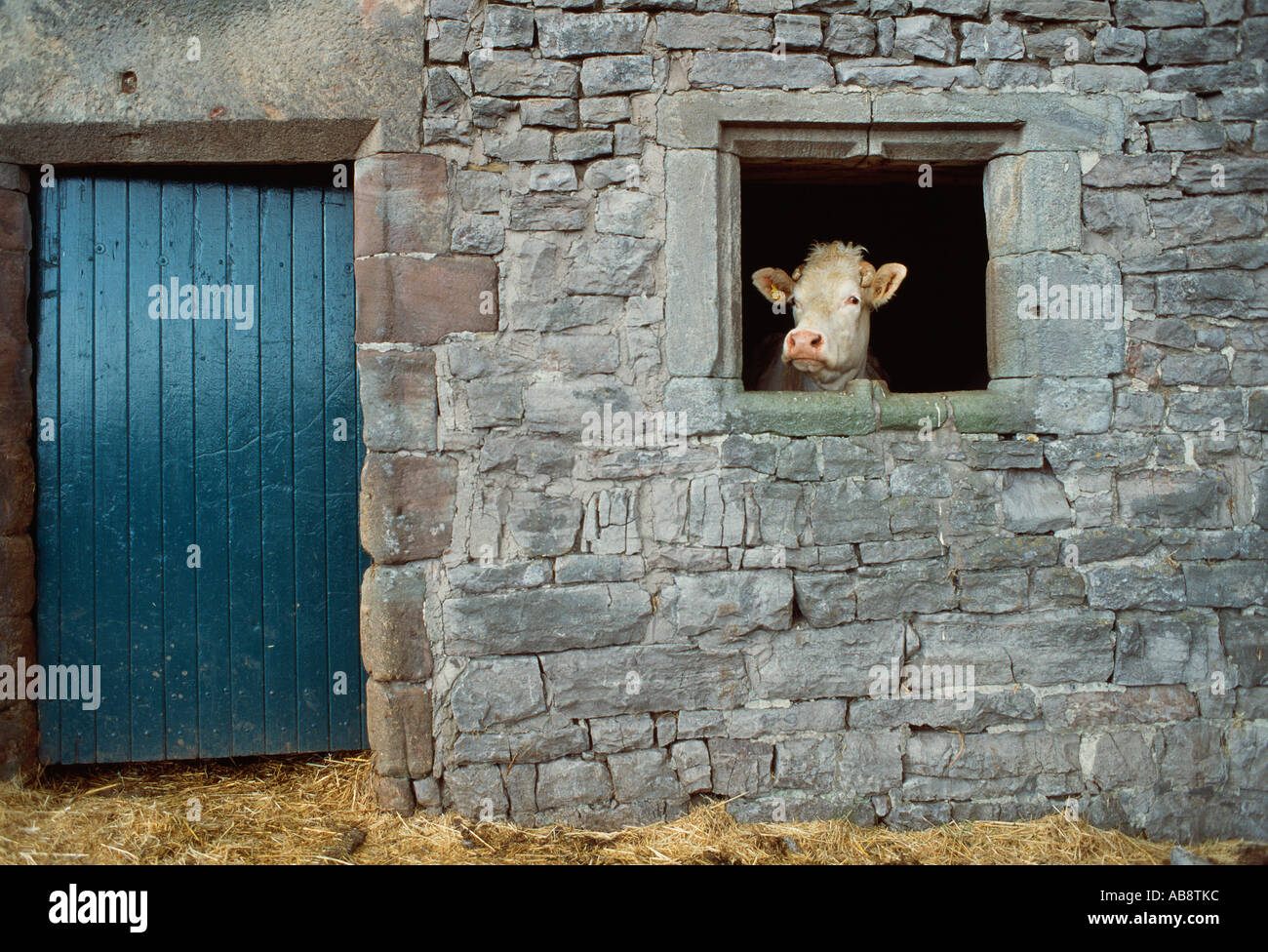 Cow looking through window in stone cowshed yorkshire england