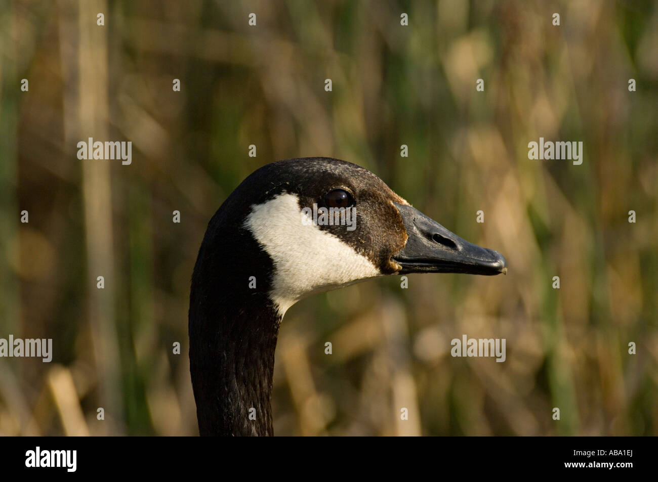 An adult canada goose close up portrait stock photo 12826745 alamy an adult canada goose close up portrait biocorpaavc Gallery