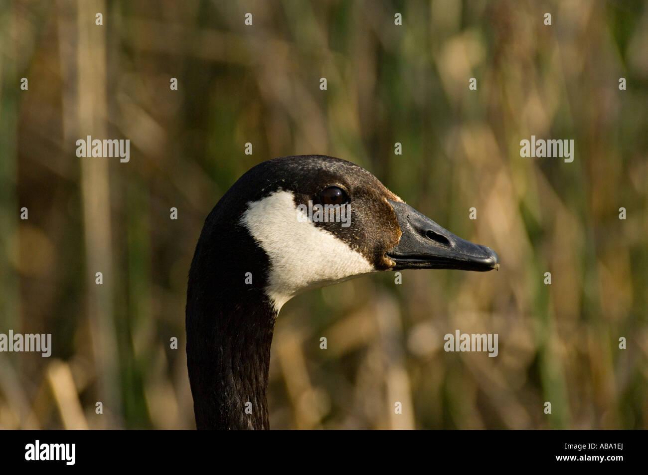 An adult canada goose close up portrait stock photo royalty free an adult canada goose close up portrait biocorpaavc