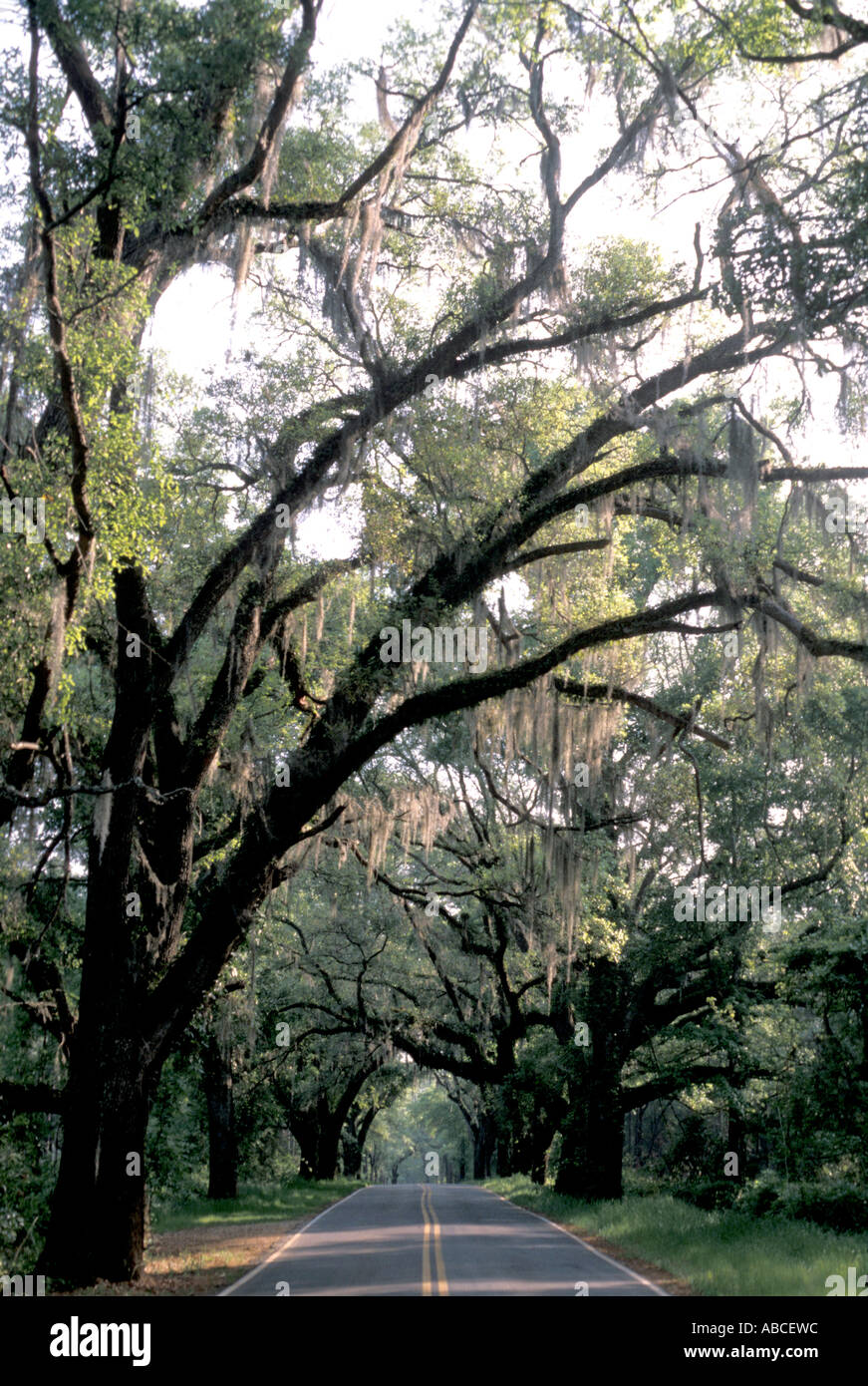 Tallahassee Florida canopy road large old oak trees cover deserted paved highway spanish moss hangs from oak tree limbs & Tallahassee Florida canopy road large old oak trees cover deserted ...