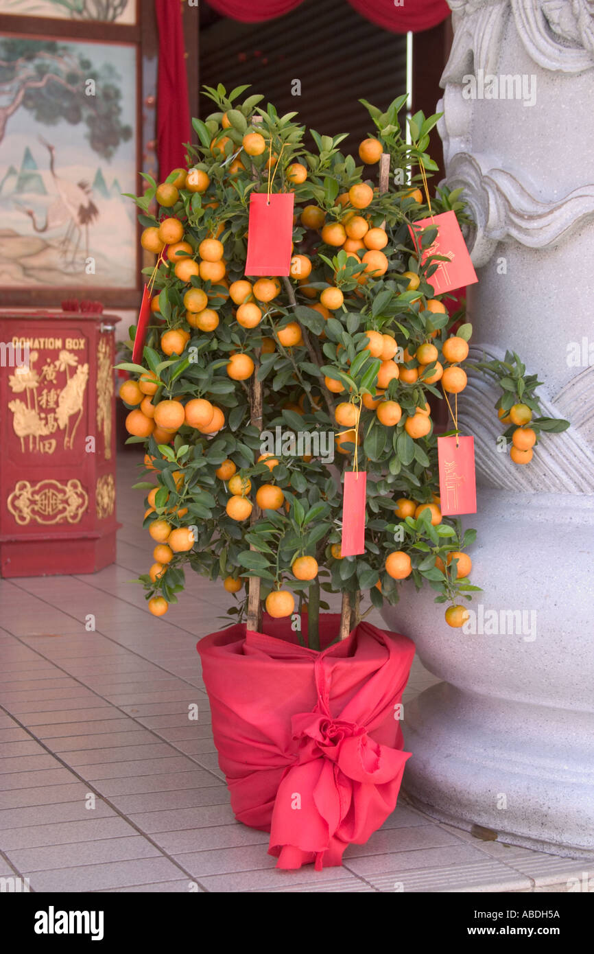 lime tree decorated with ang pows for chinese new year symbolize