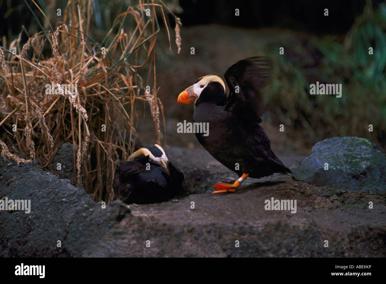 Tufted Puffins Fratercula Cirrhata At The Point