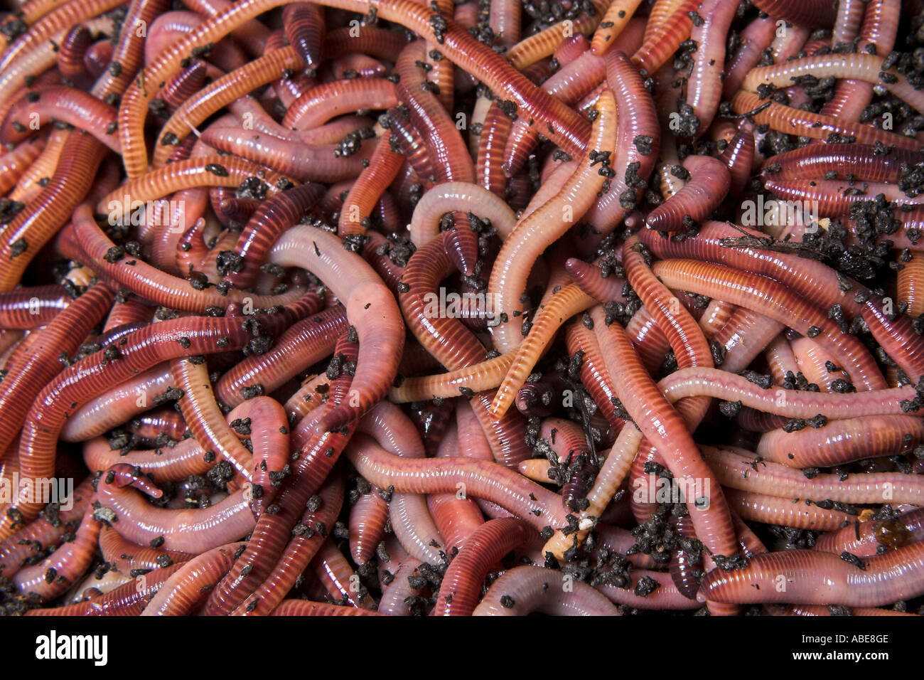 Vermiculture, worms, vermicomposting Stock Photo, Royalty Free ...
