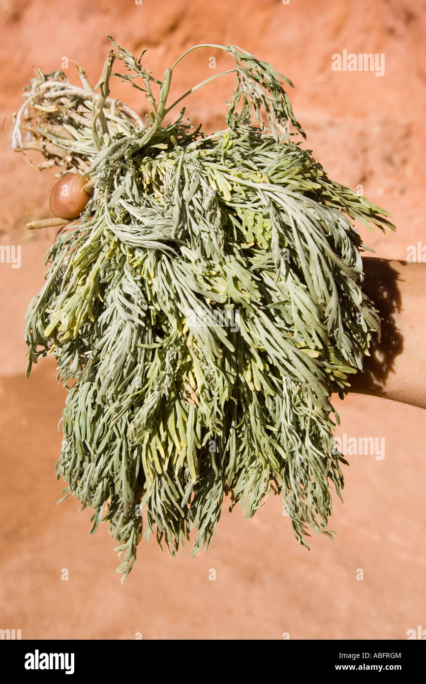 absinthe or wormwood plant for making moroccan chiba an absinthe tea stock photo  royalty free