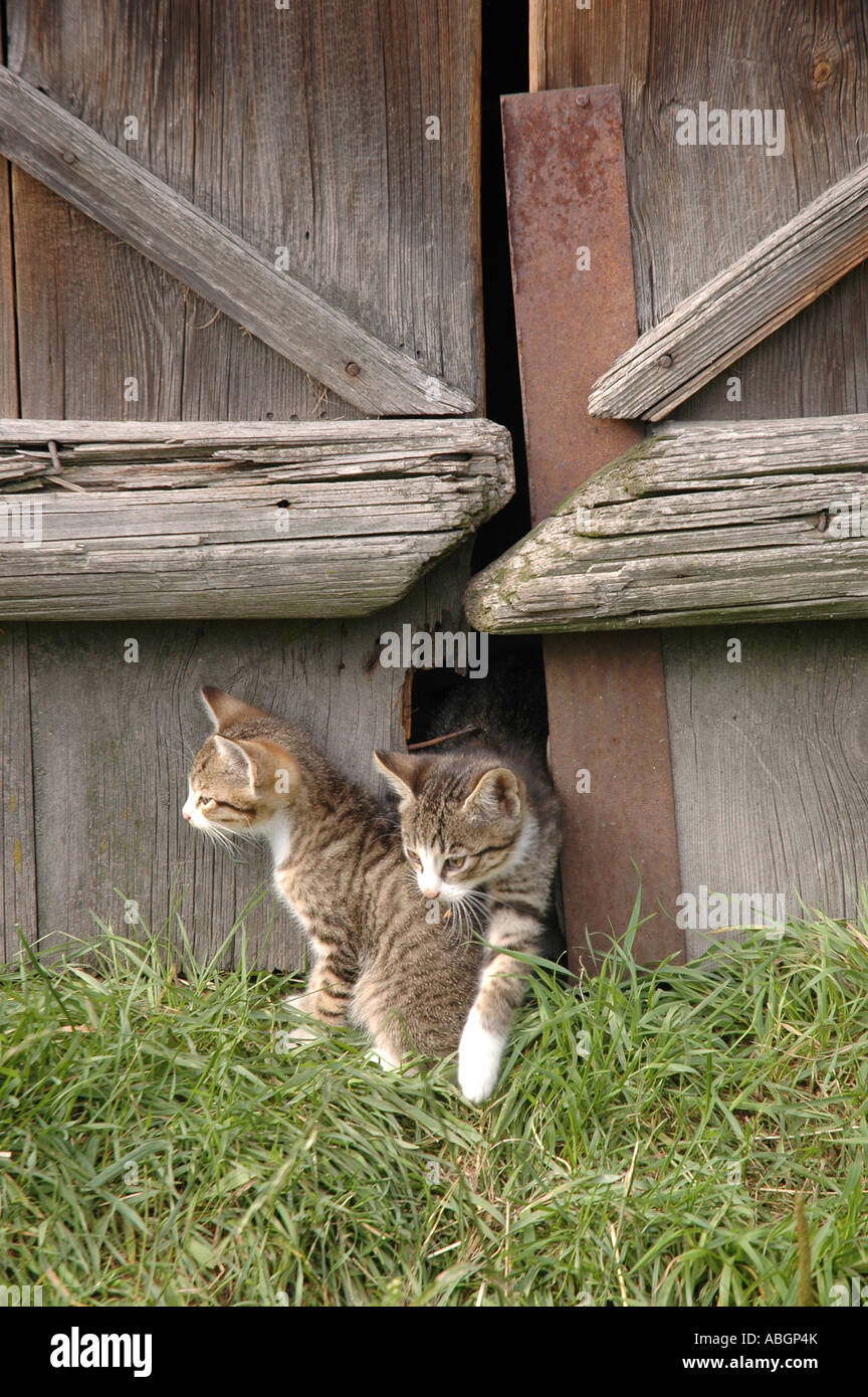 small cats playing on a country backyard stock photo royalty free