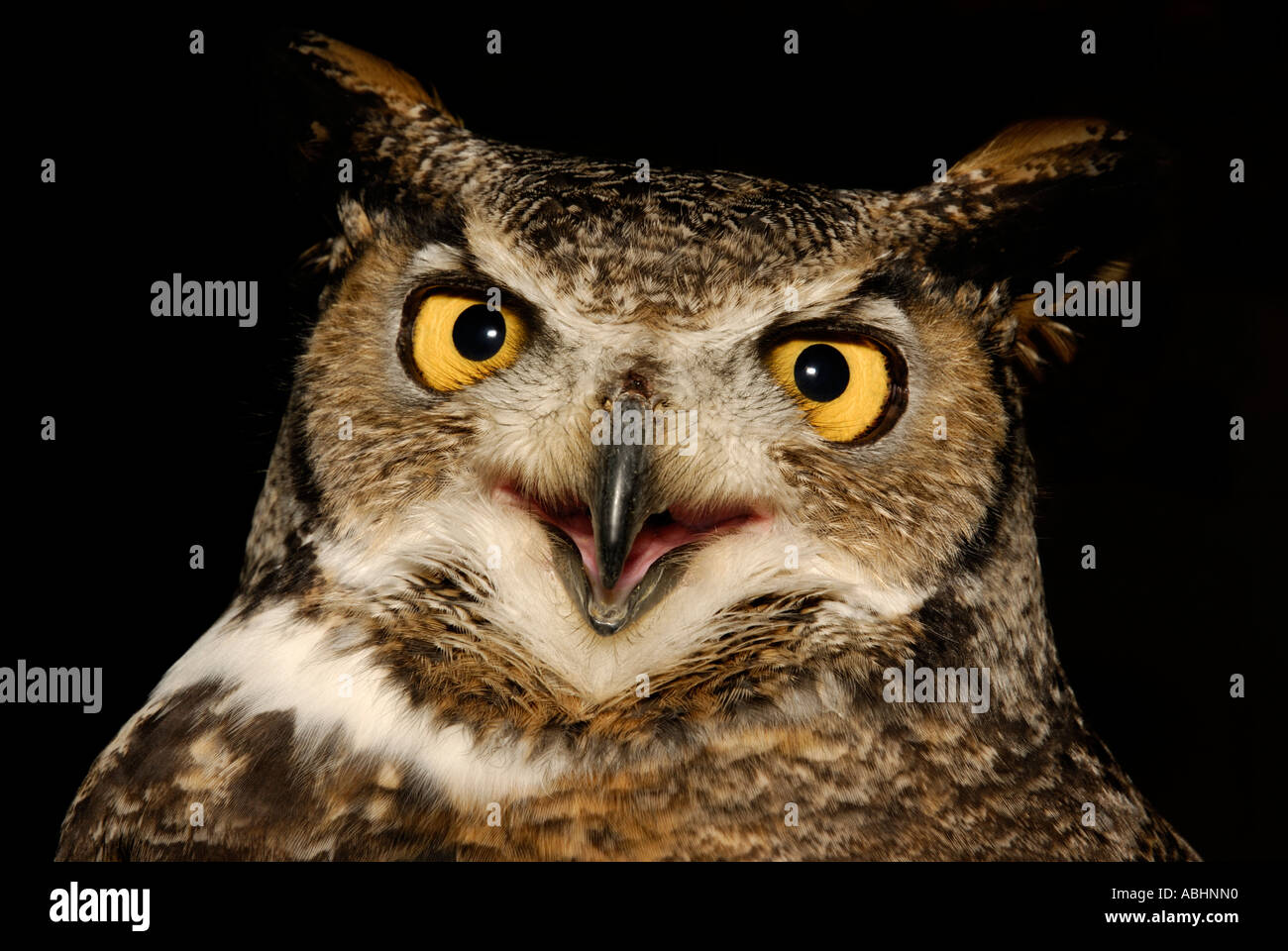 great horned owl bubo virginianus close up of head mouth open - Coloration Hnn