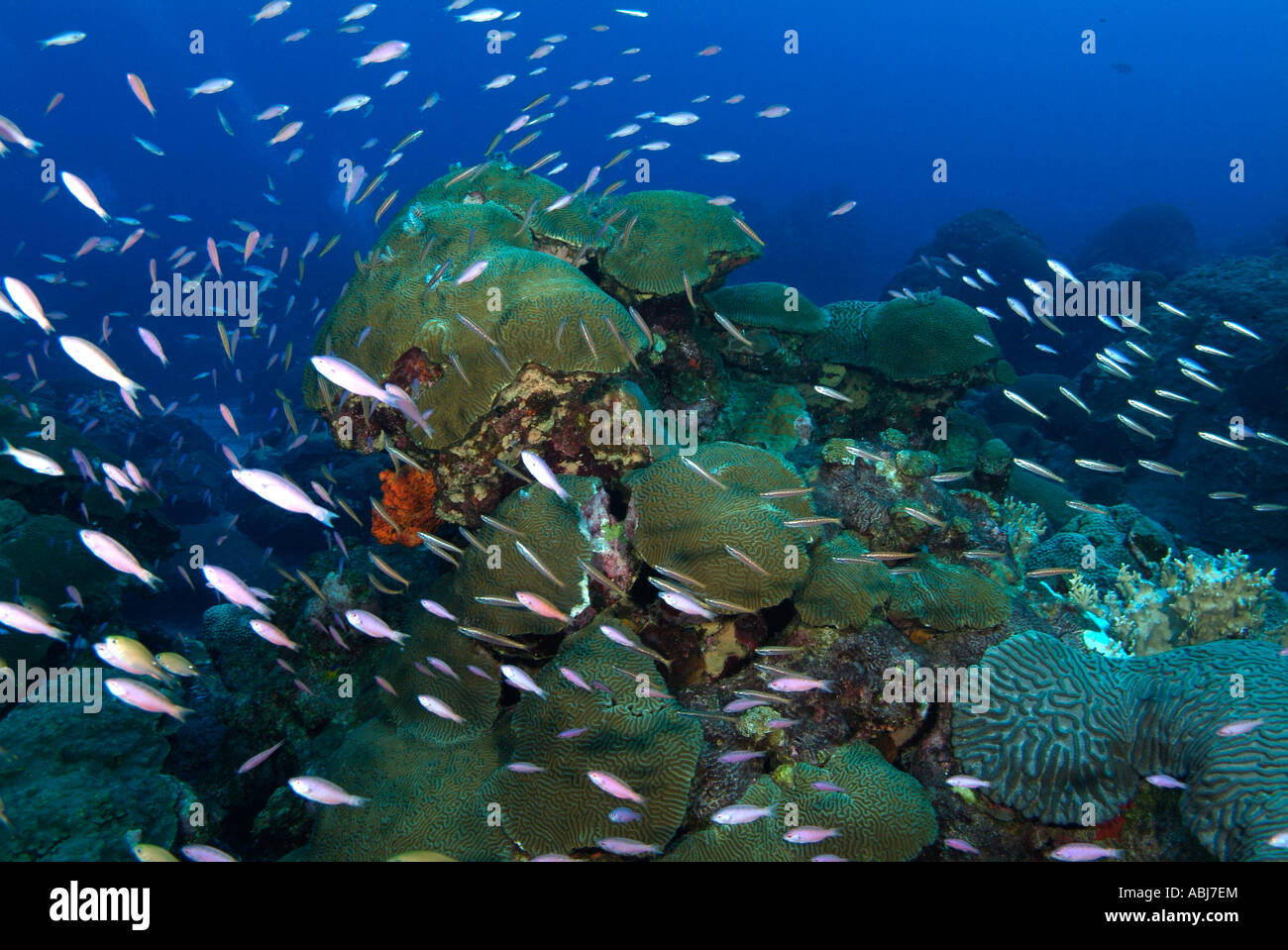 Coral Scenery In Flower Garden In The Gulf Of Mexico Off Texas Stock Photo Royalty Free Image