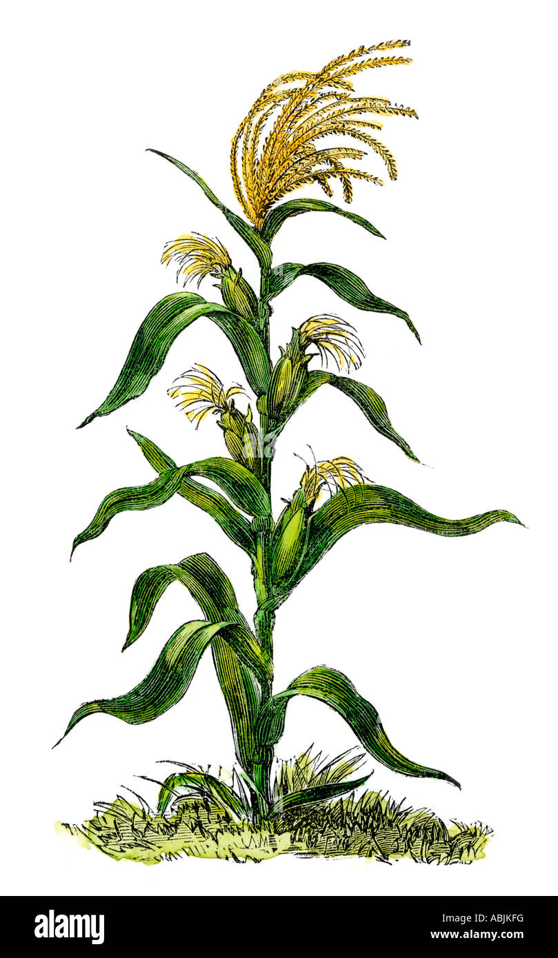 Corn Plant maize or indian corn plant stock photo, royalty free image
