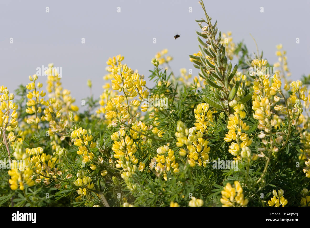 Petty whin genista anglica yellow flowered shrub stock photo petty whin genista anglica yellow flowered shrub dhlflorist Gallery