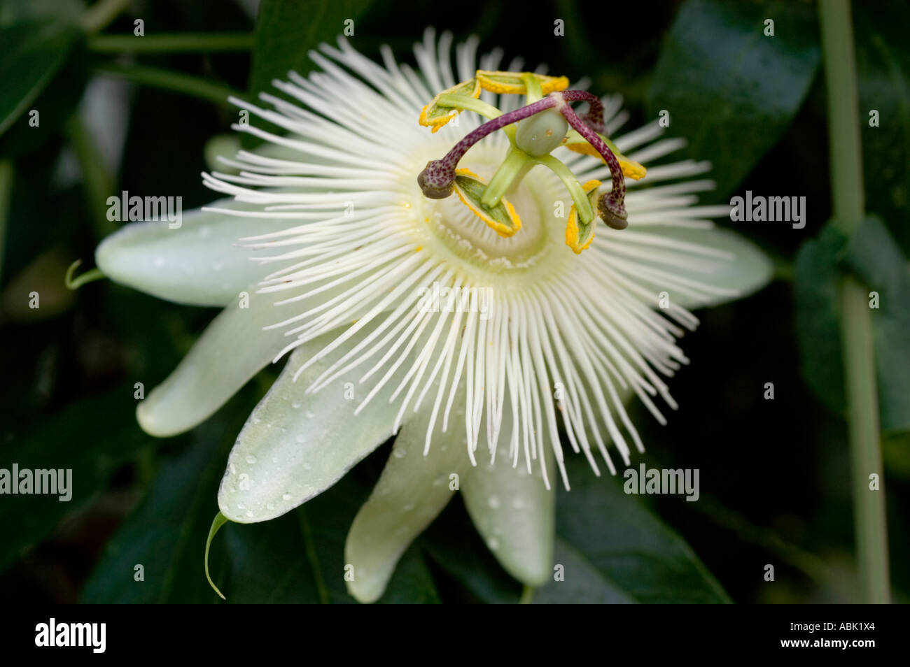 White flower of passiflora close up stock photo royalty free stock photo white flower of passiflora close up dhlflorist Images