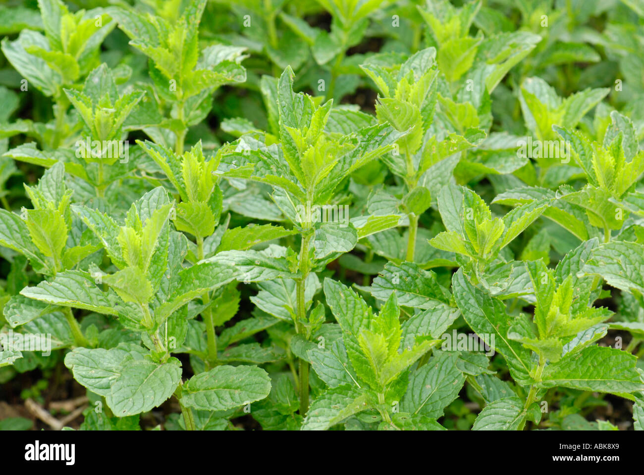 green spearmint peppermint mentha piperita fresh lamiaceae mentha x stock photo royalty free. Black Bedroom Furniture Sets. Home Design Ideas