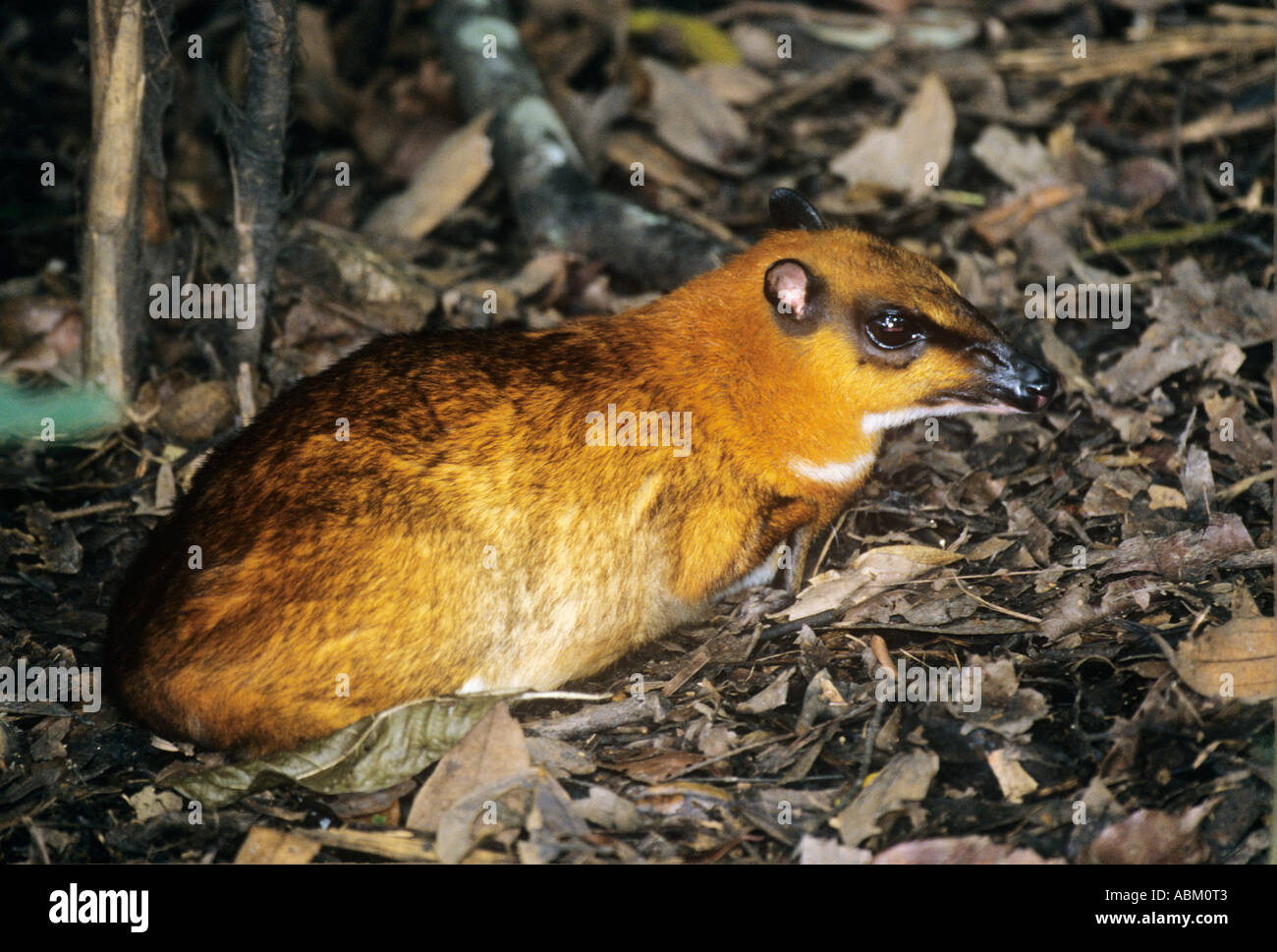 Greater mouse deer