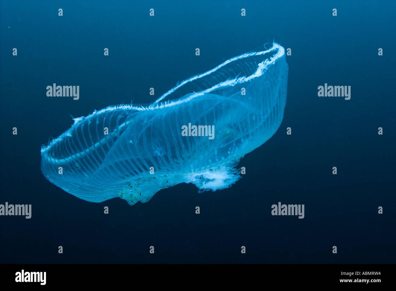 jellyfish munsom island jeju do south korea east sea or sea of