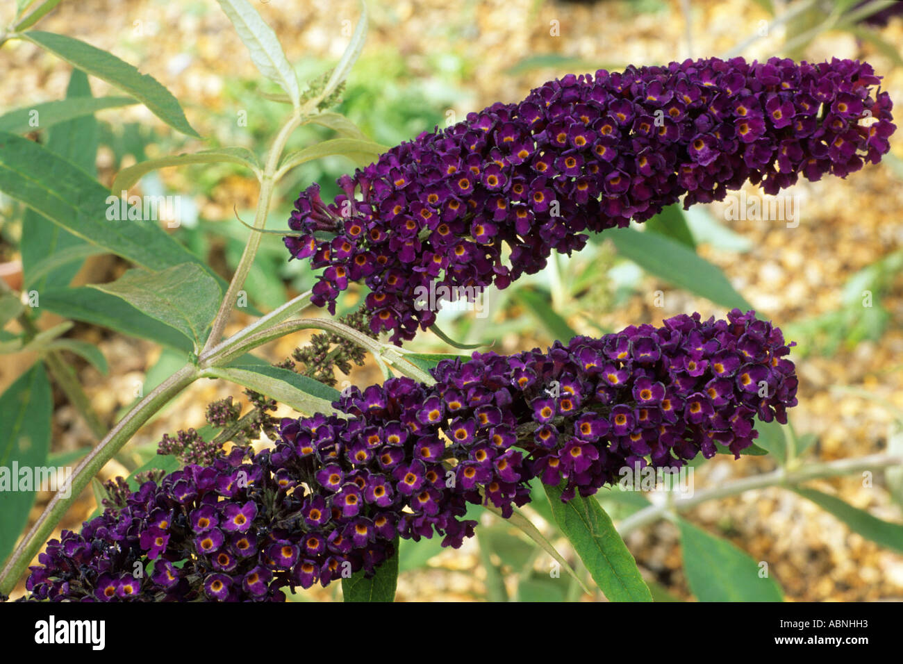 buddleia davidii 39 black knight 39 butterfly bush dark purple flower stock photo royalty free. Black Bedroom Furniture Sets. Home Design Ideas